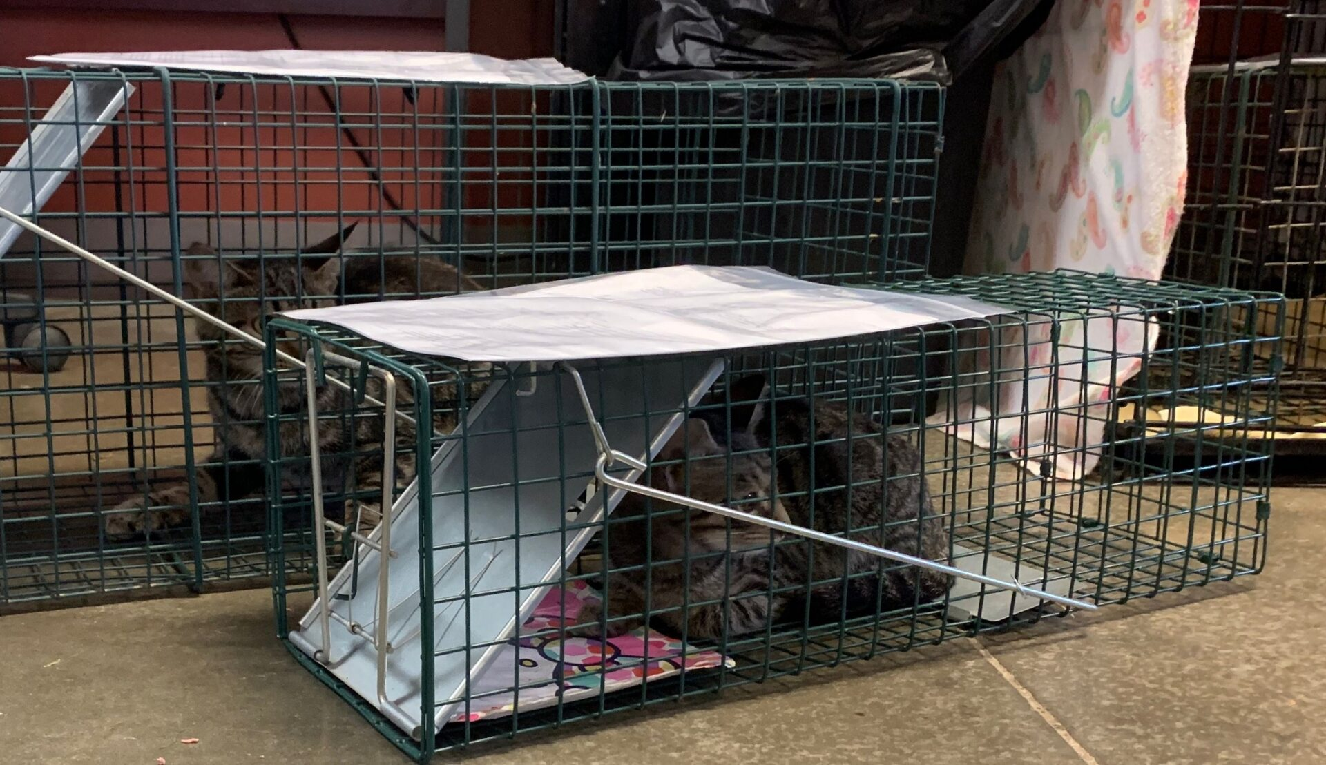 Standard catch-and-release traps are used in the trap-neuter-release program. (Source: Pa. SPCA)
